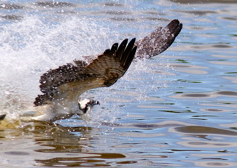 osprey-catches-two-fish-03  (Phil Lanoue)