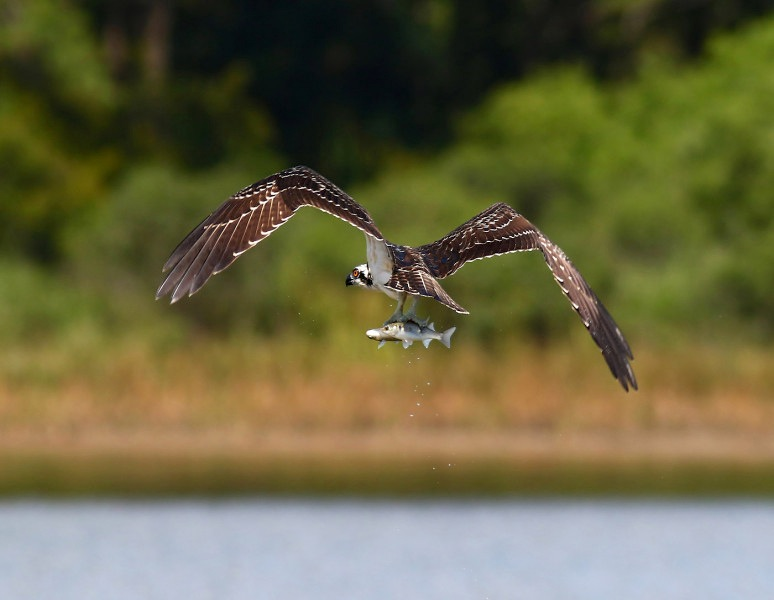 osprey-catches-two-fish-04  (Phil Lanoue)