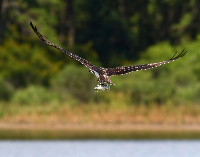 osprey-catches-two-fish-05  (Phil Lanoue)