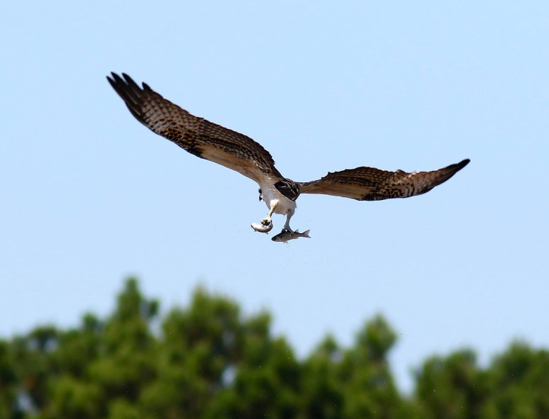 osprey-catches-two-fish-06  (Phil Lanoue)