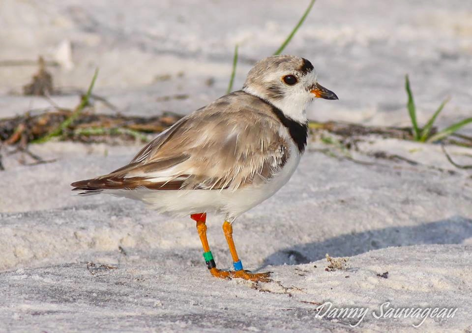 Piping Plover 32 (banded as an adult in 2010 at Manistee, MI Sleeping Bear Dunes N L, MI)