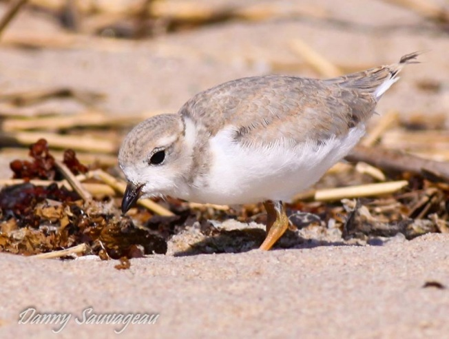 Piping Plover CT (Danny Sauvageau)