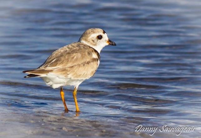 Piping Plover, Dunedin, FL (Danny Sauvageau)