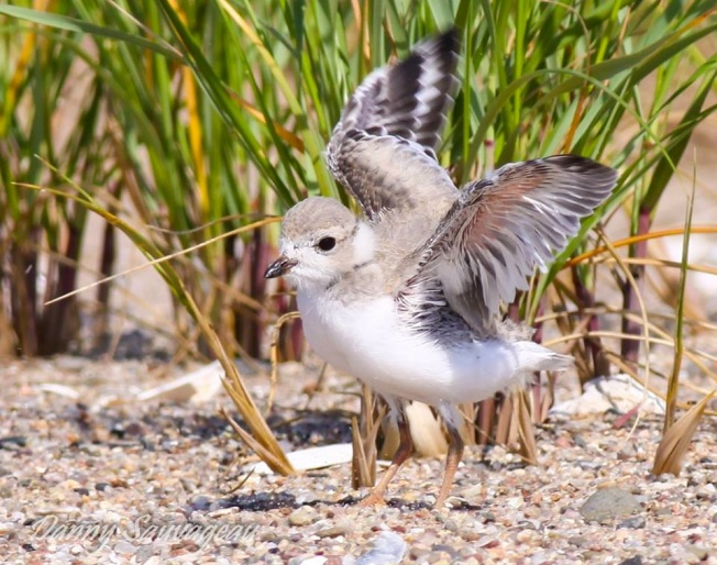 Piping Plover (juv) CT (Danny Sauvageau)
