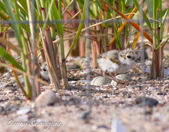 Piping Plovers - 2 chicks, 2 eggs - CT (Danny Sauvageau)