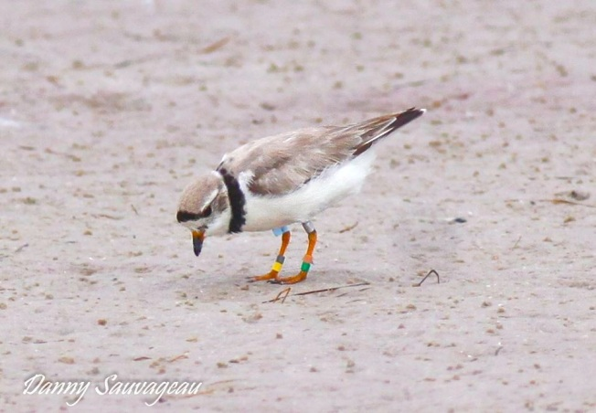 PPL-106- 2nd year at Ft Desoto - Banded in Nebraska
