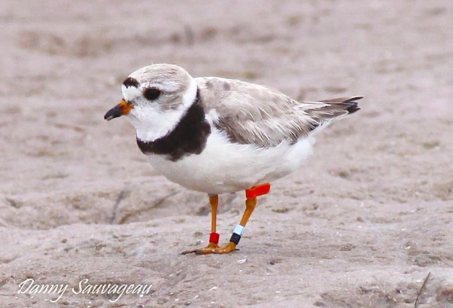 PPL-35 - 3rd year at Ft Desoto - Banded as a chick 2012 Vermillion, MI along Lake Superior