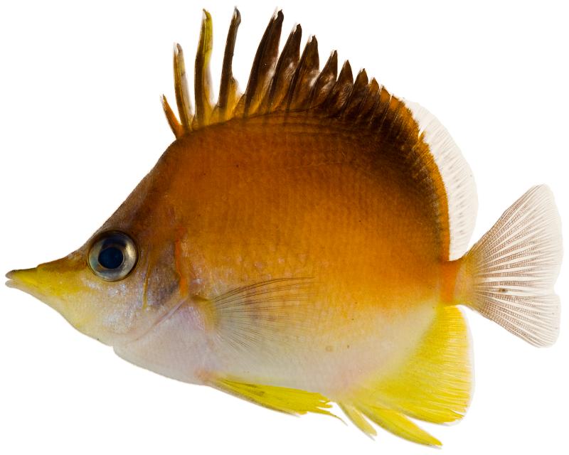 Longsnout Butterflyfish Prognathodes aculeatus (Wiki)
