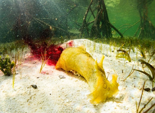 Sea Hare squirting ink Bimini's Marine Protected Area Campaign