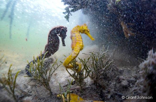 Seahorses Bimini's Marine Protected Area Campaign