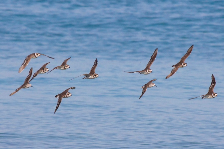 Semi-palmated Plovers in flight, Abaco (Alex Hughes)