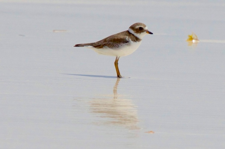 Semi-Palmated Plover, Abaco (Alex Hughes)