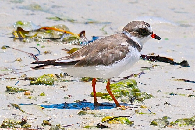 Semi-palmated Plover WB P1001211 copy