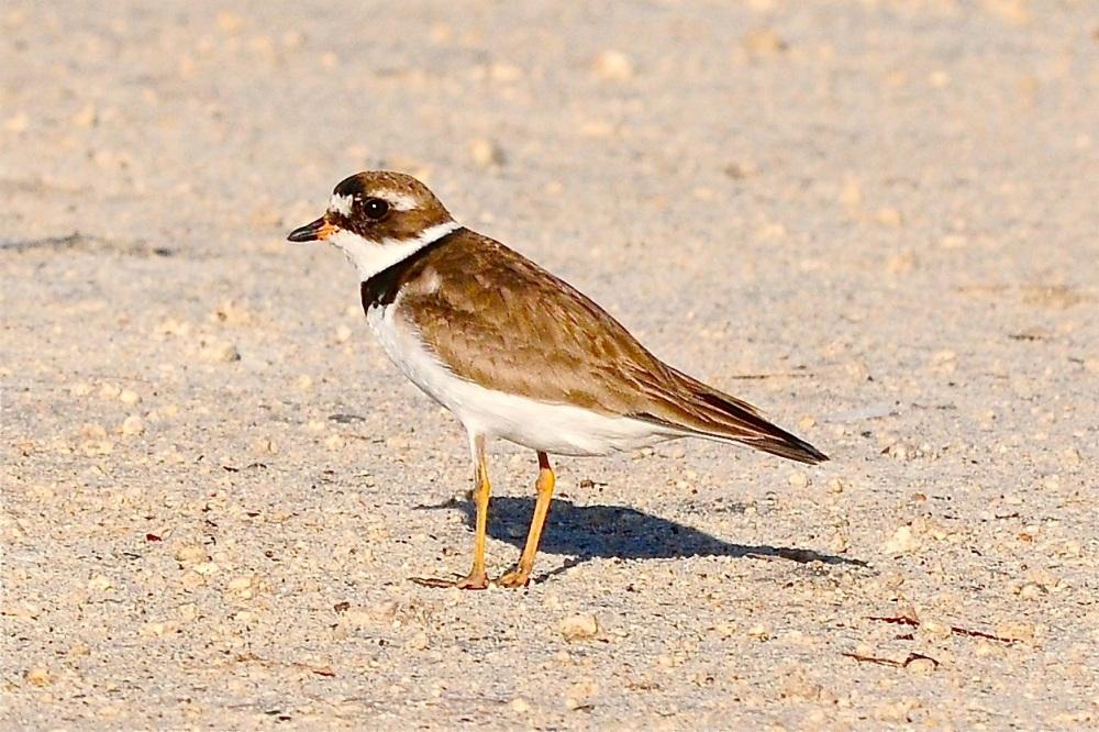 Semi-palmated Plover, Bahamas (Tony Hepburn)