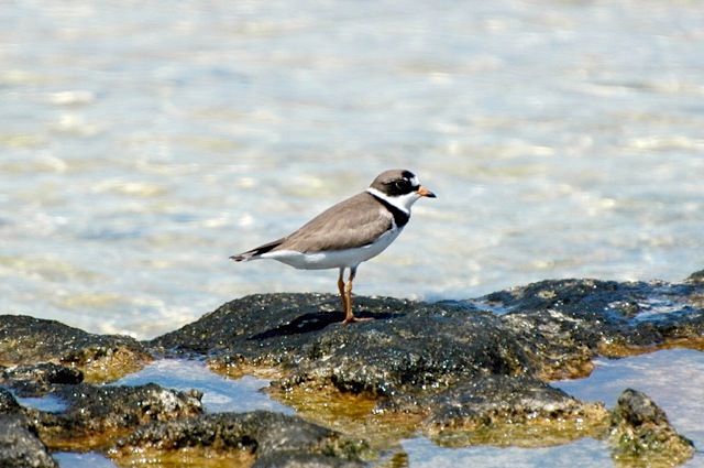 Semipalmated Plover, Abaco (Woody Bracey)