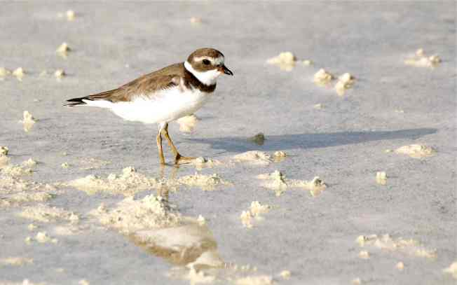 Semipalmated Plover, Abaco (f, nb) Bruce Hallett FV