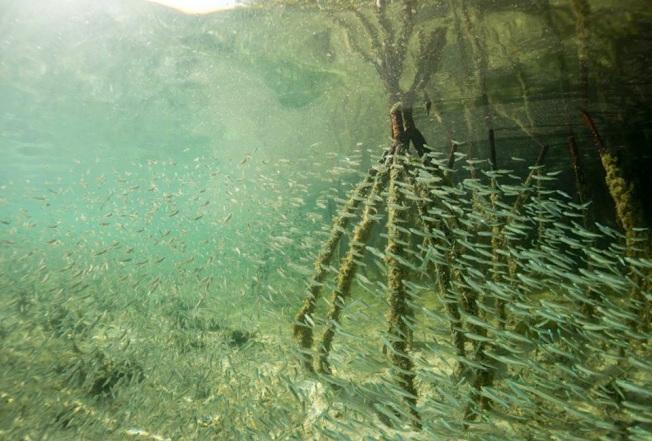Silversides Bimini's Marine Protected Area Campaign