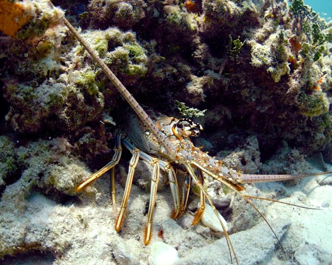 Spiny Lobster Bimini's Marine Protected Area Campaign