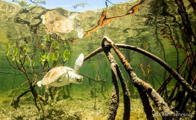 Turtle in Mangroves Bimini's Marine Protected Area Campaign