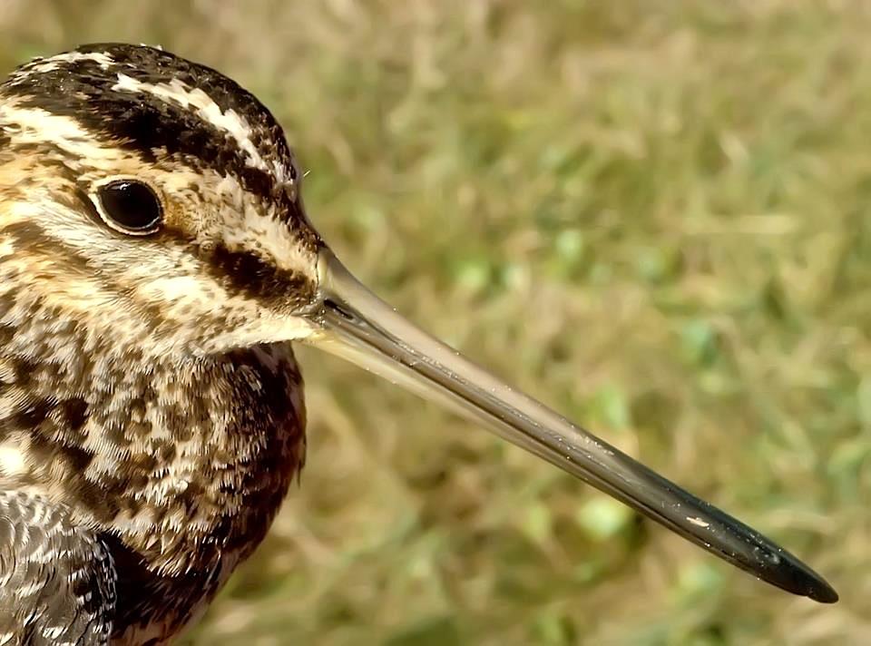 Wilson's Snipe (Birds Caribbean)