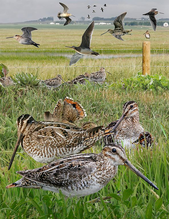 Wilson's_Snipe_from_The_Crossley_ID_Guide_Eastern_Birds