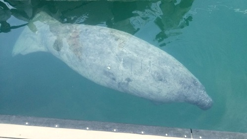 Blackbeard the manatee, Lyford Cay, New Providence (BMMRO / FLK)