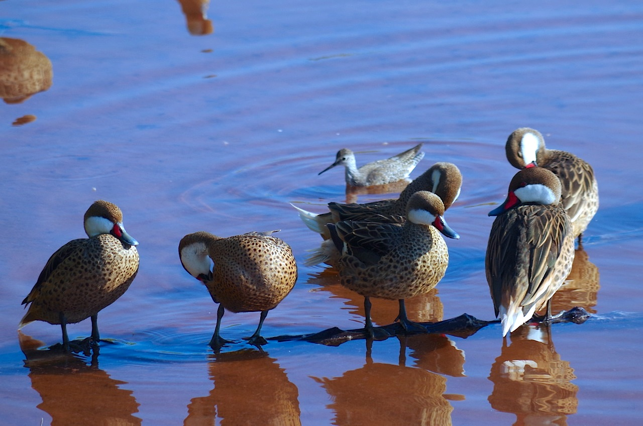 Bahama (Whitecheeked) Pintail with Lesser Yellowlegs, Gilpin Point, Abaco