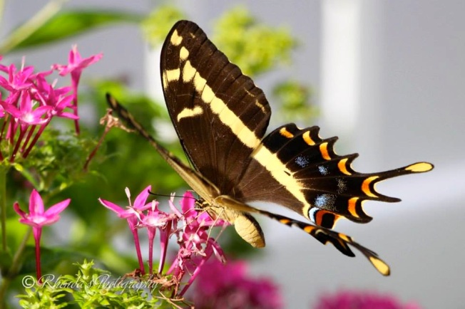 Bahama Swallowtail, Abaco (Rhonda Pearce) 1