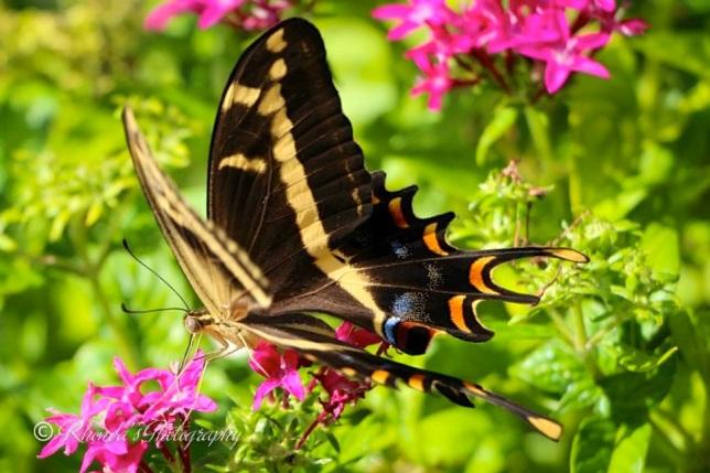Bahama Swallowtail, Abaco (Rhonda Pearce) 2