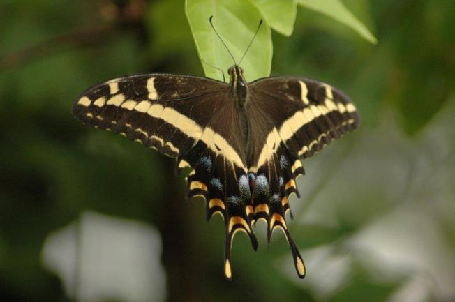 Bahama Swallowtail? Palamedes Swallowtail?