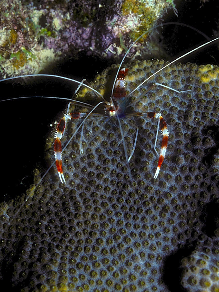 Banded Coral Shrimp on Star Coral (night) - LASZLO ILYES