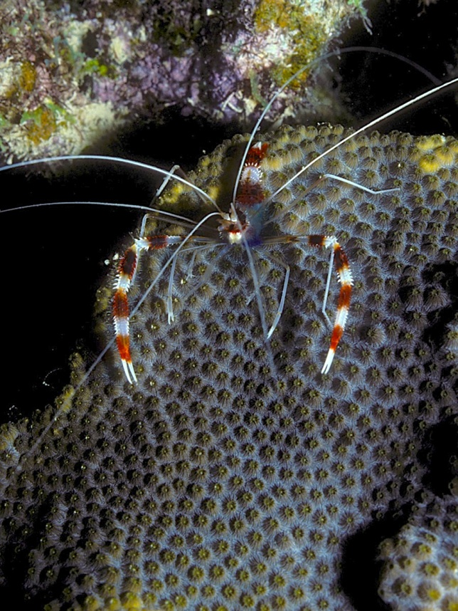 Banded Coral Shrimp on Star Coral (night) - LASZLO ILYES