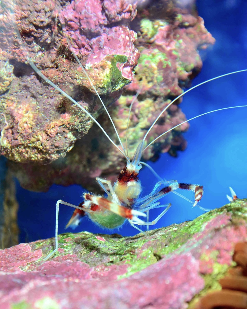 Banded Coral Shrimp Stenopus hispidus (Johan Fredriksson) a