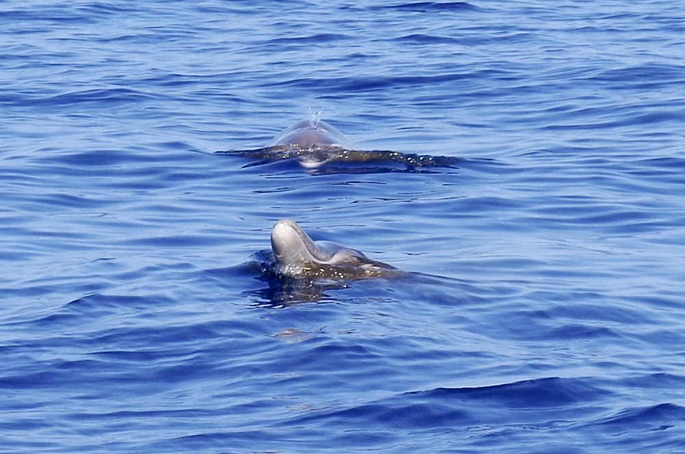 Blainville's Beaked Whales, Abaco (1) (Keith Salvesen)