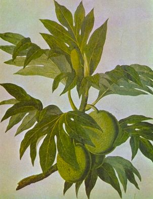 Breadfruit drawing  John Frederick Miller