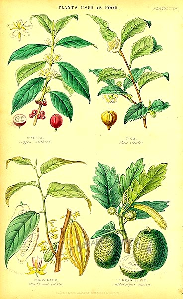 Breadfruit etc William Rhind (1841)