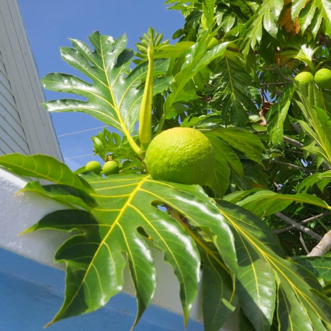 Breadfruit, Hope Town Abaco (Dp Paterson)