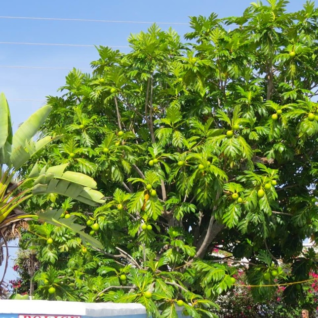 Breadfruit Tree, Hope Town Abaco (Dp Paterson)