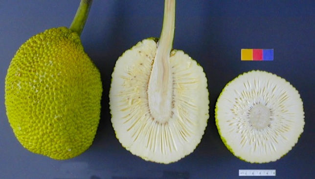 Breadfruit sliced (US Pacific Basin Agricultural Research Center)