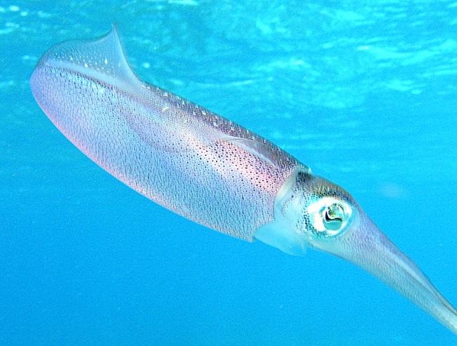 Caribbean_reef_squid (Ed Brown)
