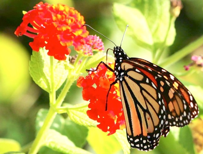 Monarch Butterfly, Abaco (Charmaine Albury) 1