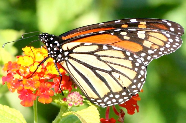 Monarch Butterfly, Abaco (Charmaine Albury) 2
