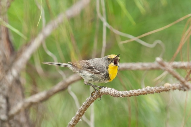 Olive-capped Warbler, Abaco Bahamas (Tom Sheley)