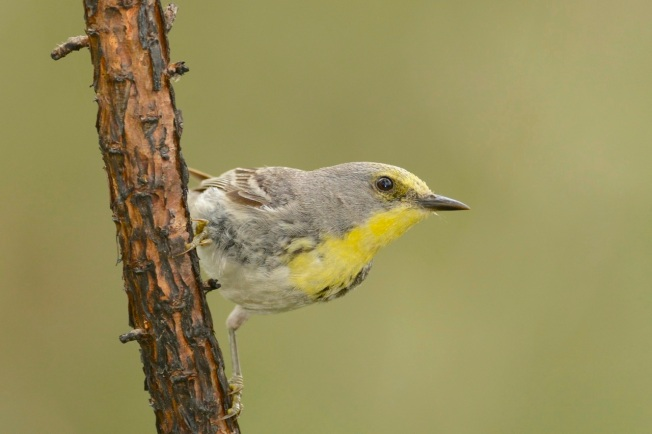Olive-capped Warbler 6.Abaco Bahamas.6.13.Tom Sheley