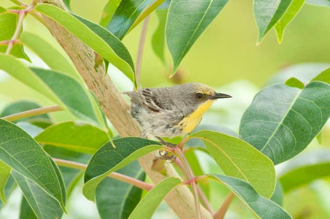 Olive-capped Warbler.Abaco Bahamas.6.13.Tom Sheley