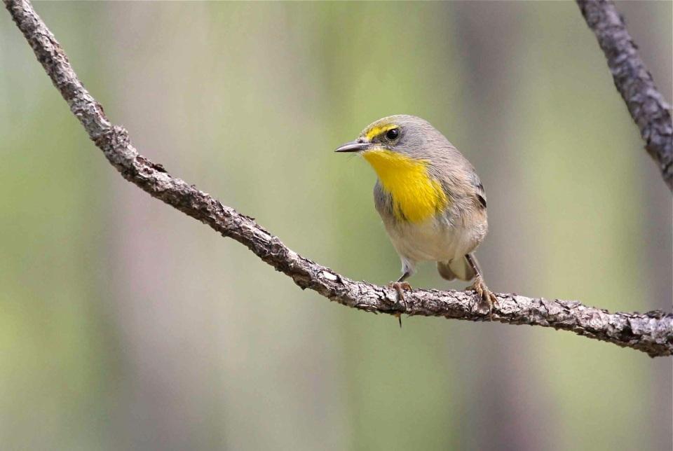 Olive-capped Warbler, Abaco (Bruce Hallett)