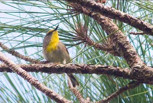 Olive-capped Warbler, Abaco (Tom Reed)