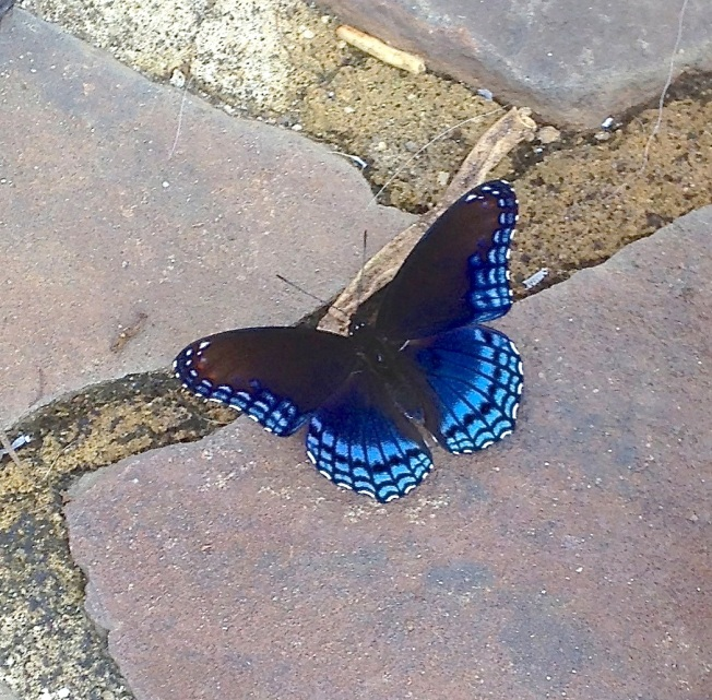 Red-spotted Purple Butterfly (Selah Vie)