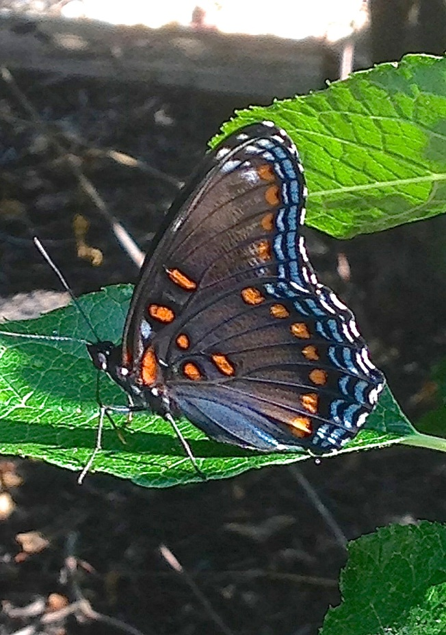 Red-spotted Purple Butterfly, Abaco (Selah Vie)