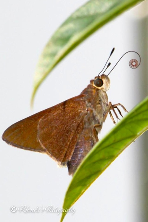 Skipper Butterfly, Abaco (Rhonda Pearce)